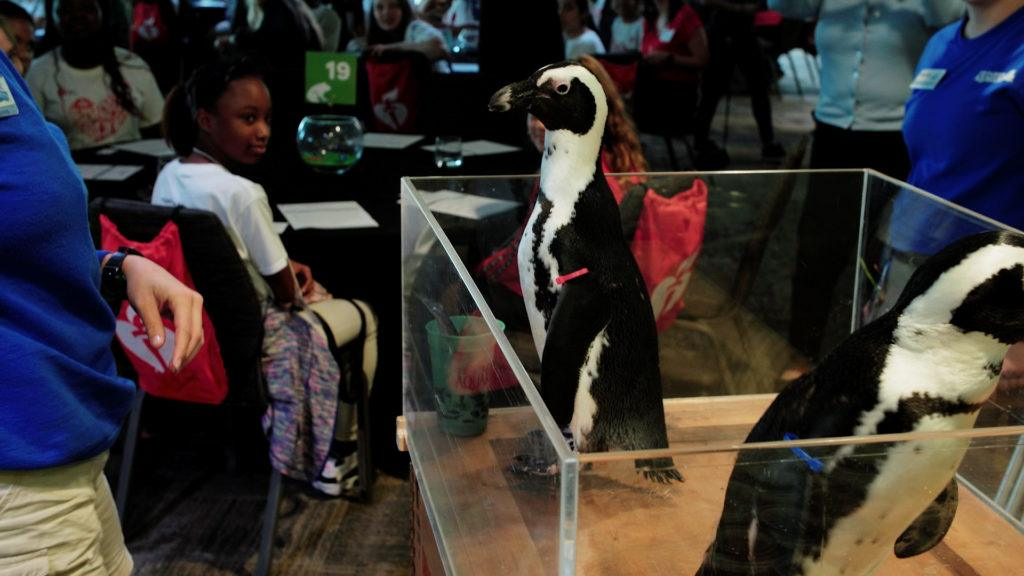 Penguins at the Florida Aquarium for AHA STEAM Goes Red event.
